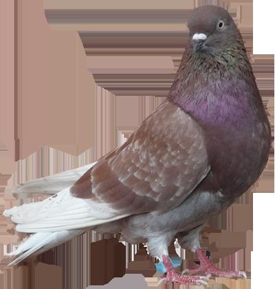 Se débarrasser des Pigeons La Valette-du-Var