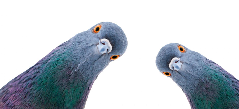 Se débarrasser des Pigeons Péronnas
