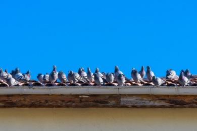 b26hqwqlqjf9 Se débarrasser des Pigeons La Valette-du-Var